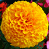 marigold-profile